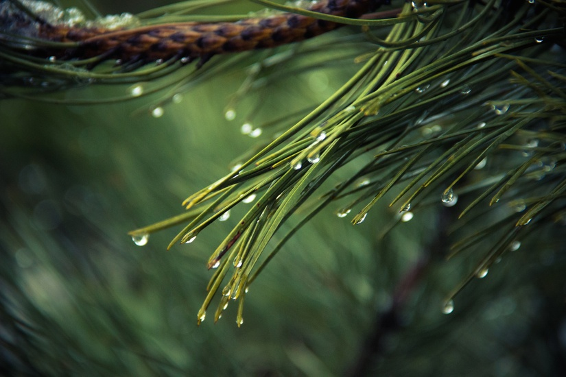 nature-tree-green-pine-large